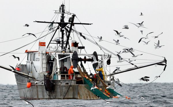 Due primarily to overfishing and warming oceans, shrimp populations in northern New England have declined so quickly that the