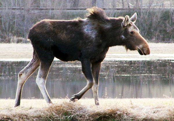 "Minnesota<a href=""http://www.usatoday.com/story/news/nation/2013/02/28/moose-minnesota-climate-ticks-population/1955175/"" tar"
