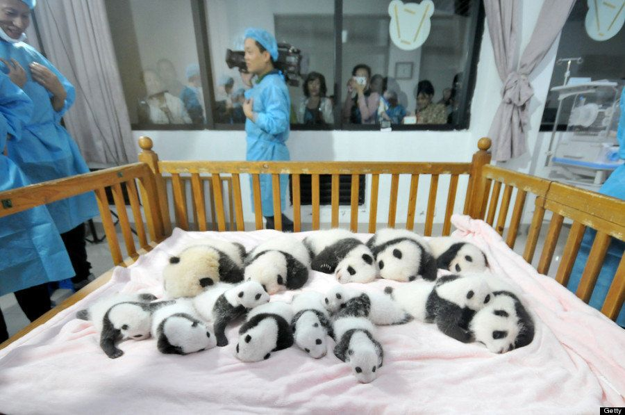 "In September, <a href=""http://www.huffingtonpost.ca/2013/09/23/baby-pandas-china_n_3977091.html"" target=""_blank"">China's Chen"