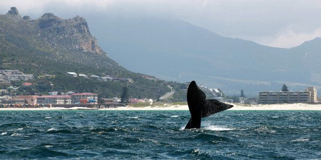 A Southern right whale slaps its tail near the shore of Muizenberg Beach in False Bay, Cape Town on October 11, 2013. Souther