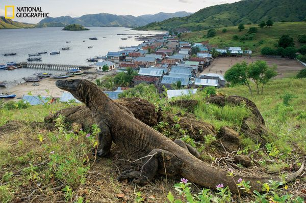 An adult dragon hangs out near Komodo village. With people living inside the island's dragon-protecting national park and poo