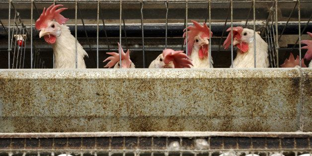 150,000 hens live and lay eggs in stacked cages at an industrial henhouse in Livingston, California, November 9, 2007. The U.