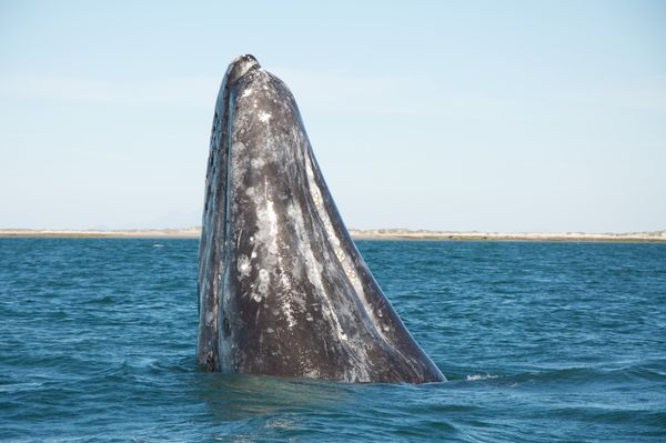 Commercial whaling heavily depleted both of the gray whale stocks -- the Eastern North Pacific population and the Western Nor