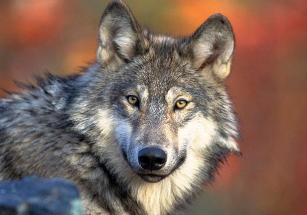 Gray wolves have made an incredible comeback since they were listed as endangered under the Endangered Species Act in <a href