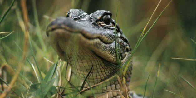 UNITED STATES - MAY 06: American alligator (Alligator mississippiensis), Alligatoridae. Everglades National Park (UNESCO Worl