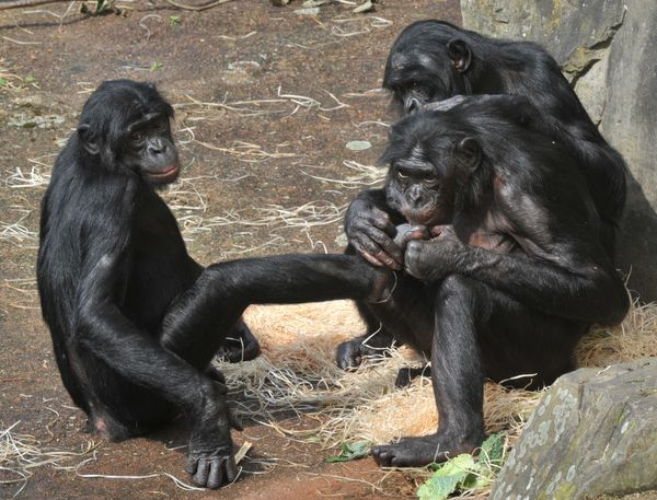 Let's be blunt: bonobos are frisky. Like humans, they don't engage in sexual activity just for the purpose of reproduction. <