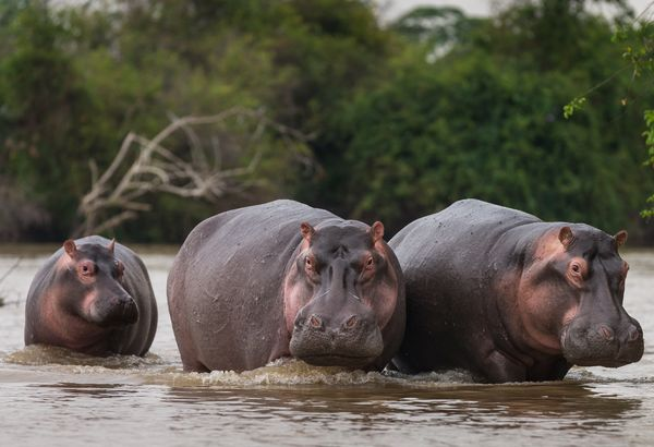 "Here's an example of what NOT to do on Valentine's Day, obviously. To attract a mate, male hippos <a href=""http://www.cnn.com"