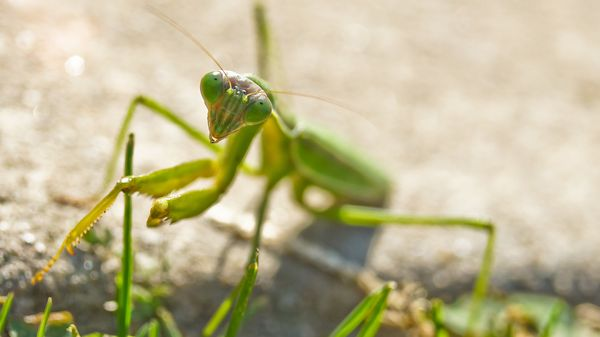 Hopefully your Valentine's date isn't as controlling as these insects. A few praying mantis species engage in sexual cannibal