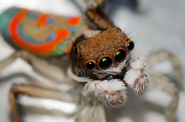 Guys, maybe some flashy, colorful jewels could woo the ladies this year. Male peacock spiders have quite the decorative, <a h