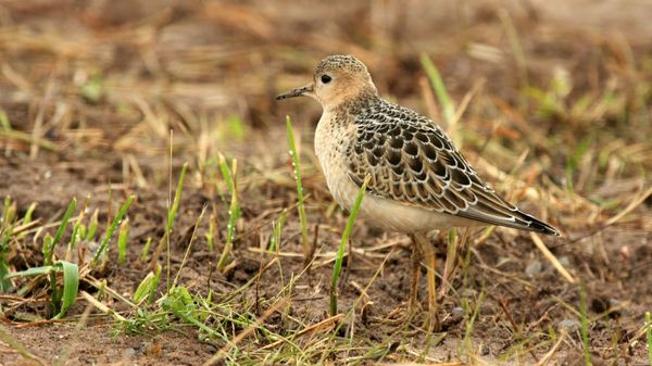 """Wow, your armpits are so sexy!"" said no one ever, <em>except</em> for the Buff-breasted sandpiper. To woo a mate, males flas"