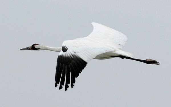 Hopefully you've got some dance moves ready to bust out this years like whooping cranes do. They leap, dance, flap their wing