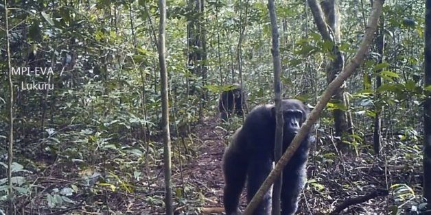 Chimpanzee  Mega-Culture  Discovered In Remote Congo Forest Might Be ... cee8b67631b