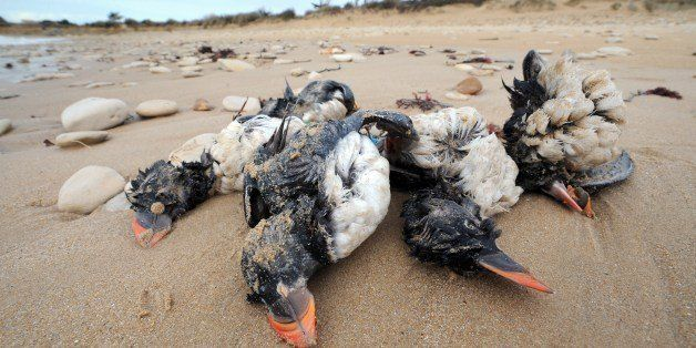 Photo taken on February 10, 2014 shows the bodies of puffins washed up on a beach in Sainte-Marie-de-Re, western France, afte