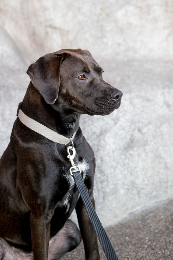 Marlin is a 2-year-old Labrador mix adopted from Chicago Canine Rescue by the Shedd last December. The aquarium says his orig
