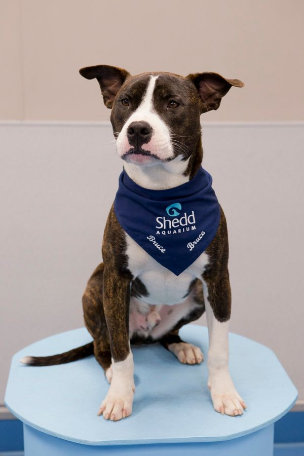 Bruce is a 1-year-old Pit bull-terrier mix from Chicago Animal Care and Control through Safe Humane Chicago. It is believed h