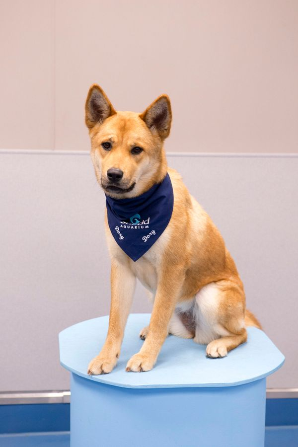 Dory is a 2-year-old Shepherd mix adopted from the Anti-Cruelty Society. She loves greeting Shedd visitors and is always read