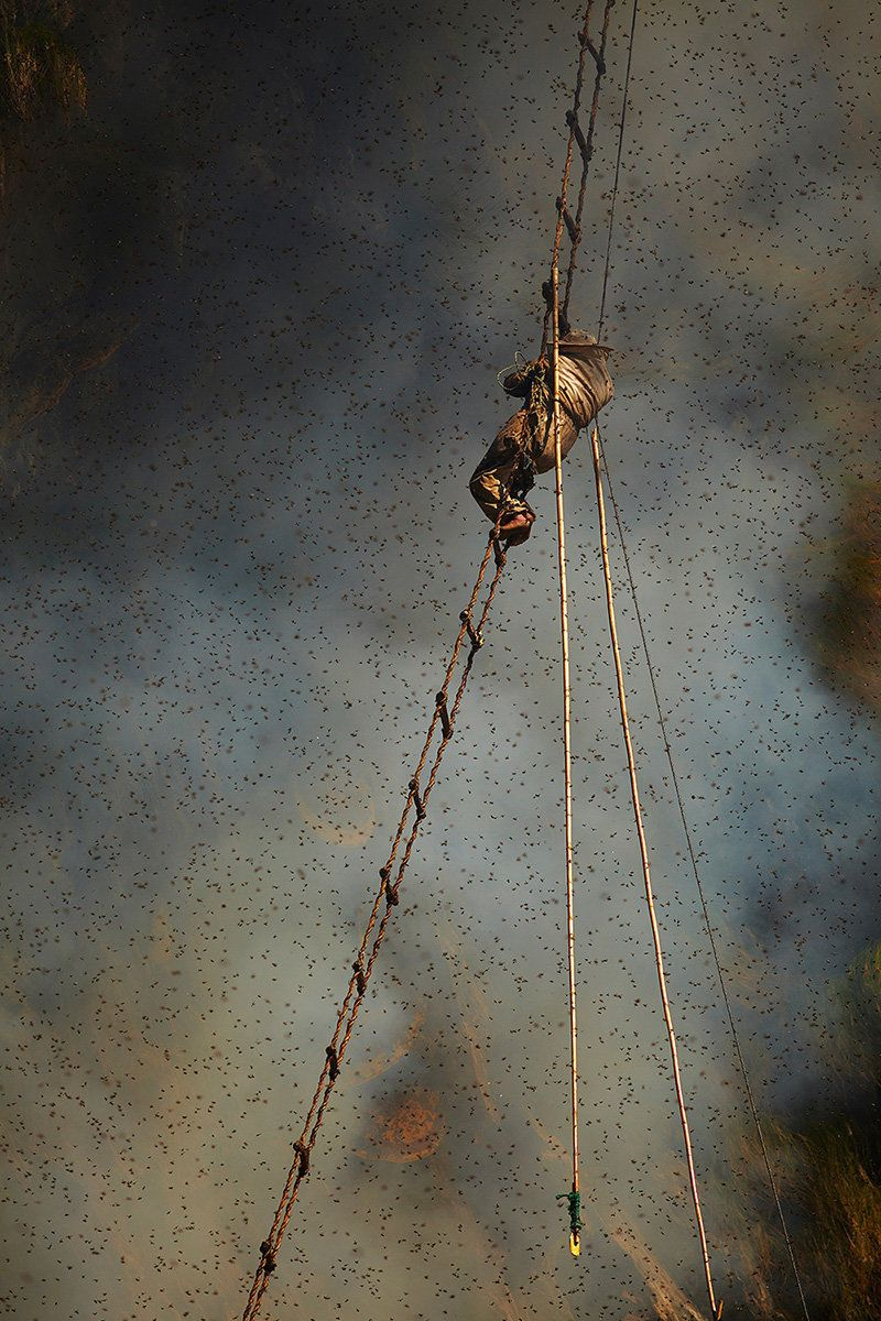 The honey hunter clings precariously to the rope ladder while he waits for the rising smoke to drive the bees out of the nest
