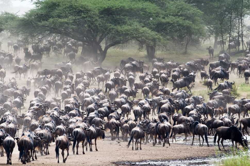 "Up to 1.5 million wildebeests, joined by other animals like zebra and gazelle, <a href=""http://animals.nationalgeographic.com"