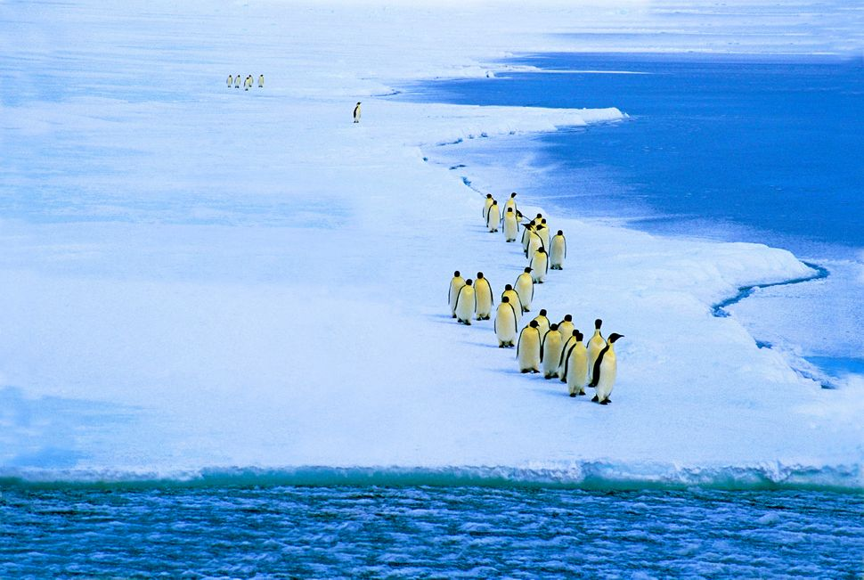 "The largest penguin species makes brutal <a href=""http://www.biologicaldiversity.org/species/birds/penguins/emperor_penguin.h"