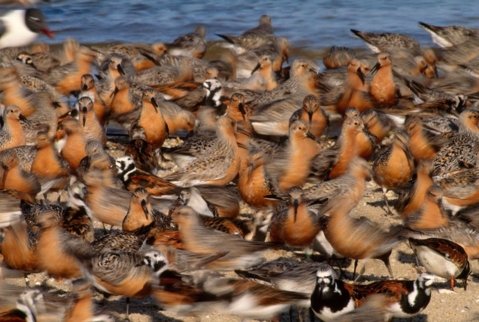 These rust-colored shorebirds have one of the longest migrations in the animal kingdom -- a tremendous feat for a species wit