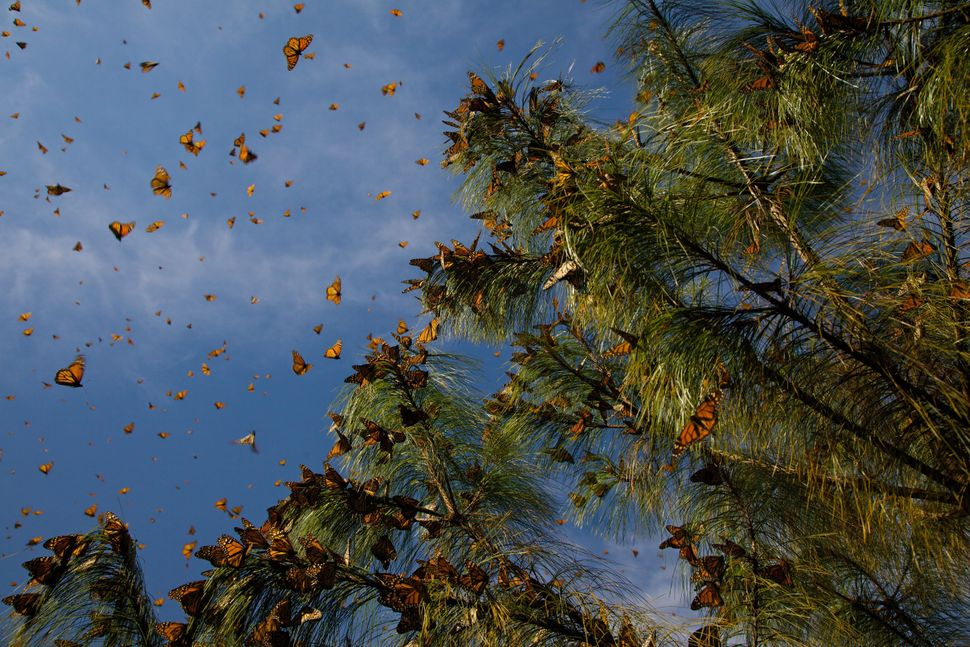 "Monarch butterflies have the longest migration of any butterfly species -- traveling <a href=""http://nationalzoo.si.edu/anima"