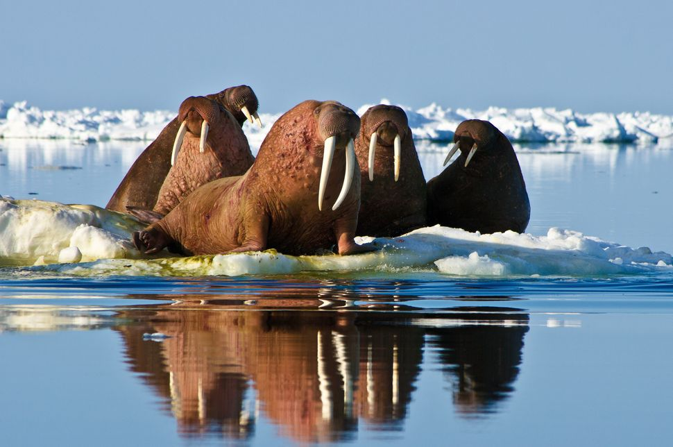 "<a href=""http://www.wcs.org/saving-wildlife/ocean-giants/pacific-walrus.aspx"" target=""_blank"">Pacific walruses</a> -- which i"