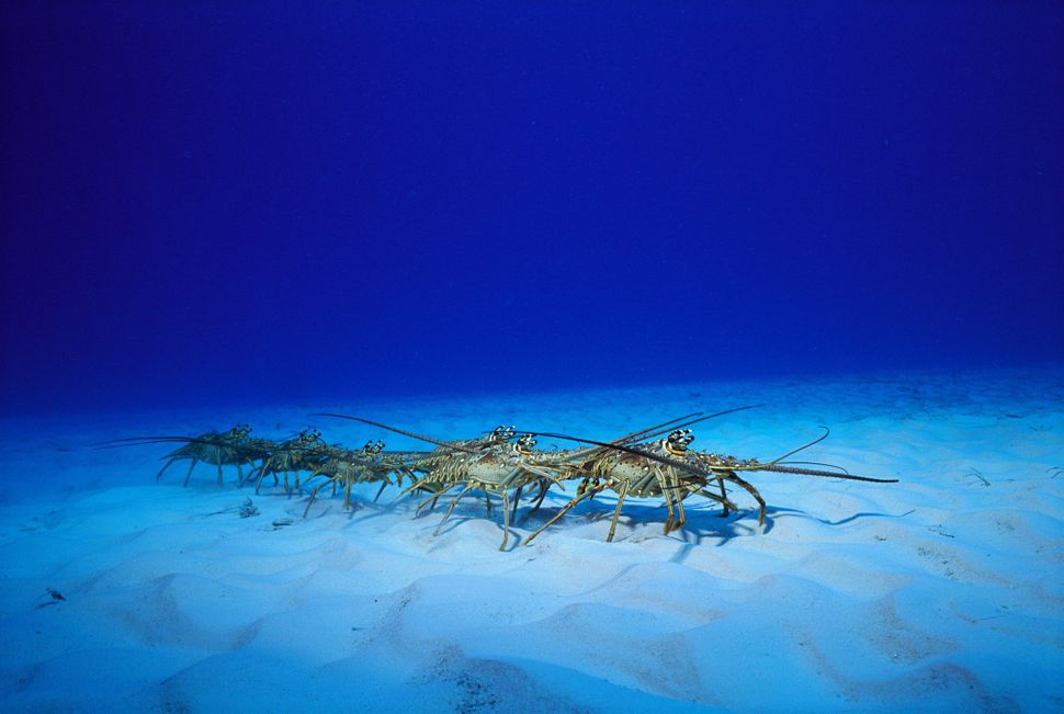 "These crustaceans <a href=""http://oceana.org/en/explore/marine-wildlife/caribbean-spiny-lobster"" target=""_blank"">migrate seas"