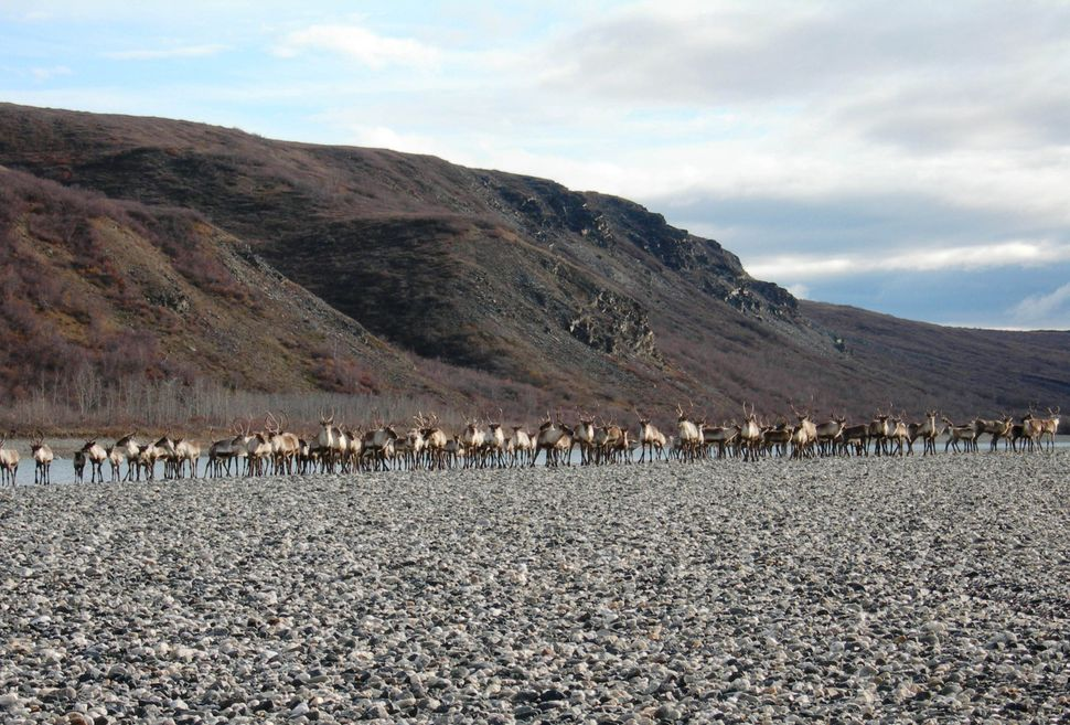 "Like many animals, caribou <a href=""http://animals.nationalgeographic.com/animals/mammals/caribou/"" target=""_blank""> head nor"