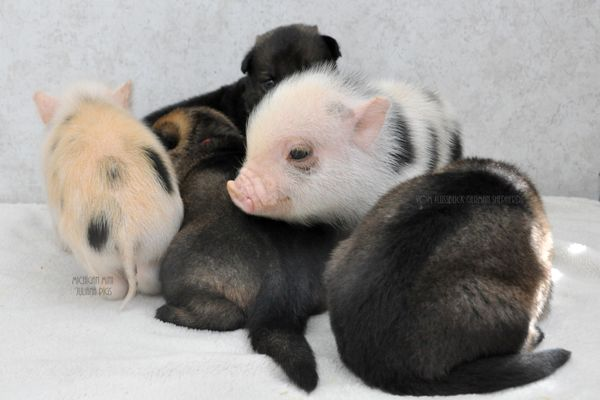 "<a href=""http://www.mijulianapig.com/"">Michigan Mini Juliana Pigs</a> play with <a href=""http://www.vomflussblick.com/"">Vom F"
