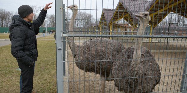 KIEV, UKRAINE - FEBRUARY 26:  A man feeds an Ostrich around President Viktor Yanukovych's Mezhyhirya estate, which was abando