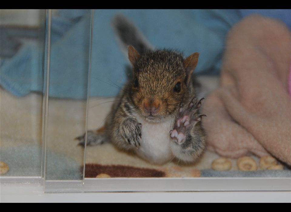 "A baby squirrel in an incubator at the <a href=""http://www.humanesociety.org/animal_community/shelters/wildlife_care_center/?"