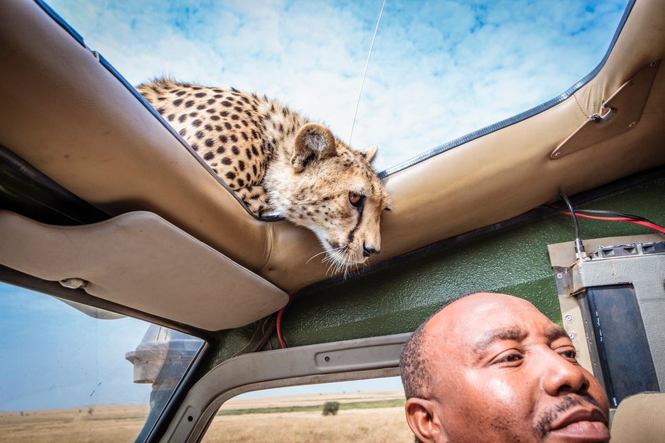 This is the heart-stopping moment a photographer came within inches of a young cheetah who stuck his head through her sun roo