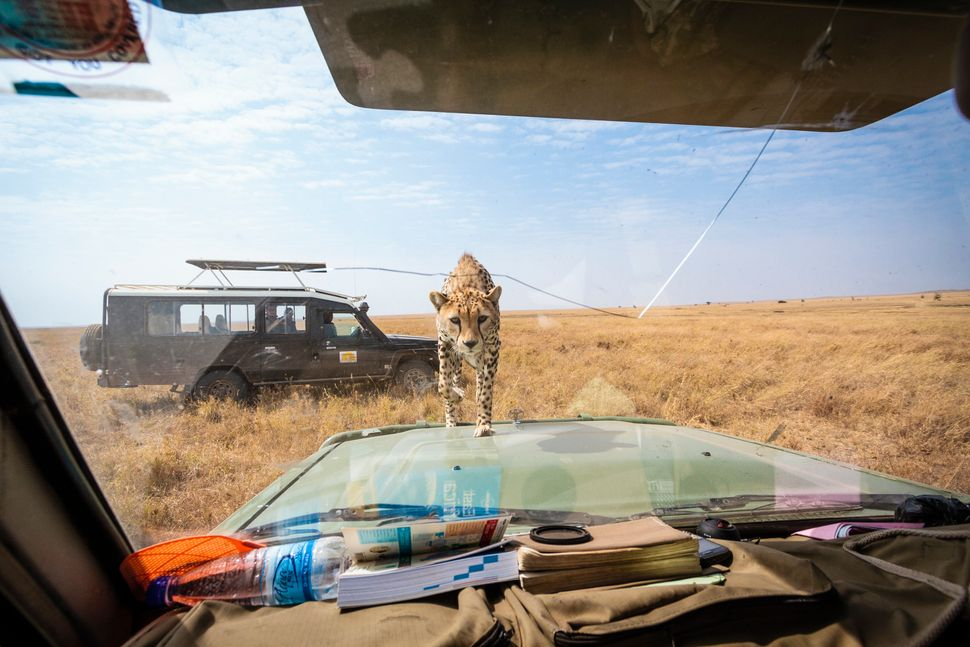 The cheetah approaches the windscreen. (BOBBY-JO CLOW PHOTOGRAPHY/CATERS NEWS)