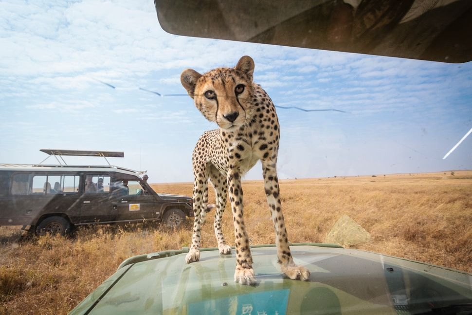 The cheetah peers inside the car to see who is inside. (BOBBY-JO CLOW PHOTOGRAPHY/CATERS NEWS)