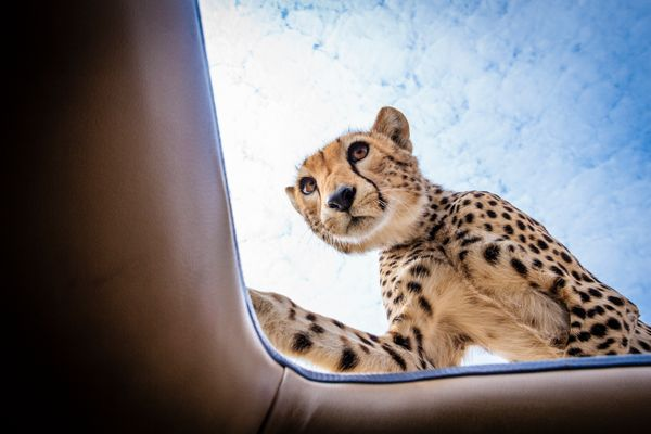The cheetah on top of the safari vehicle. (BOBBY-JO CLOW PHOTOGRAPHY/CATERS NEWS)