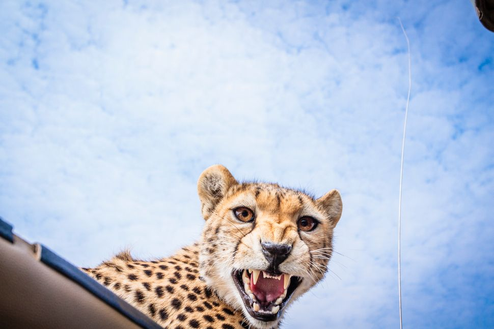 The cheetah looks straight at the photographer while peering through the roof of the safari vehicle. (BOBBY-JO CLOW PHOTOGRAP