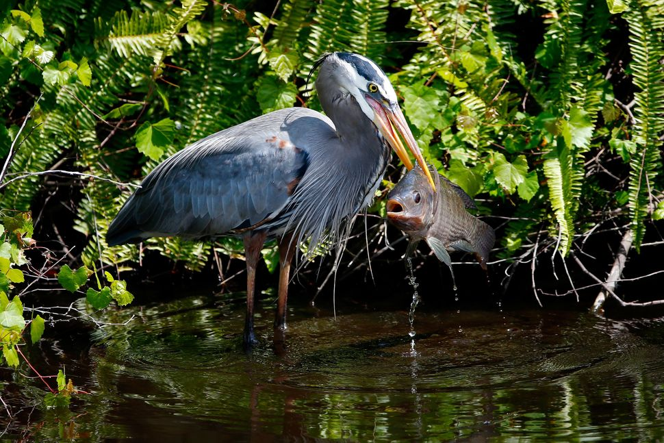 ORLANDO, FL - MARCH 22:  A heron catches a fish off the sixth hole during the third round of the Arnold Palmer Invitational p