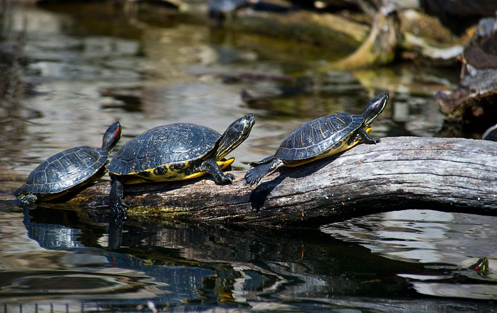 Turtles sun themselves on a log March 20, 2014 at the Smithsonian's National Zoo in Washington, DC. Balmy temperatures are ma