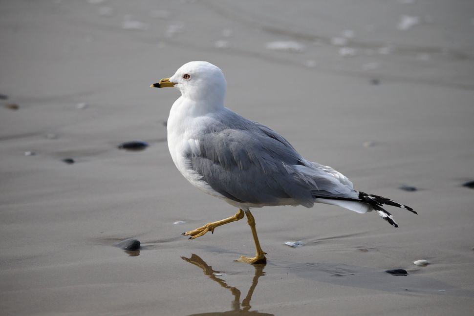 MARINA DEL REY, CA - MARCH 20:  A seagull walks on the beach on March 20, 2014 in Marina del Rey, California.  (Photo by Bruc