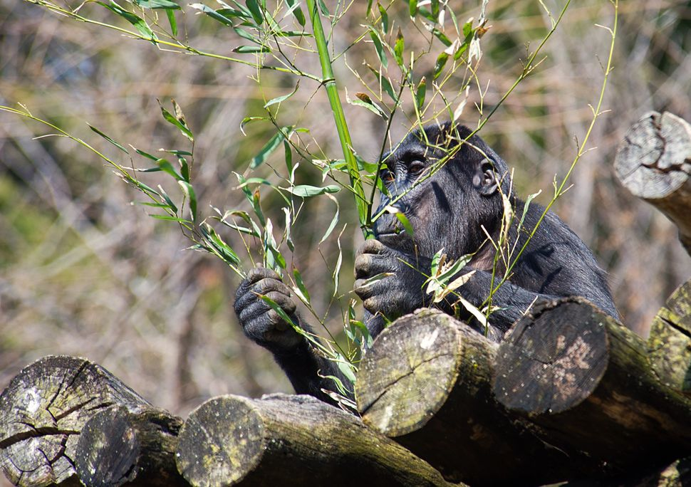 A young Lowland Gorilla eats bamboo in his enclosure March 20, 2014 at the Smithsonian's National Zoo in Washington, DC. The