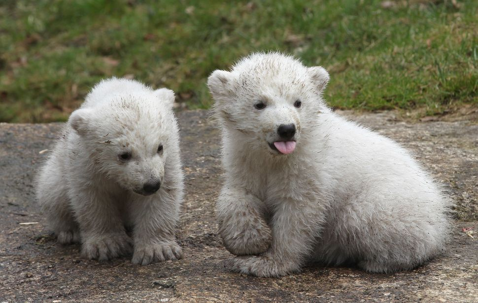 MUNICH, GERMANY - MARCH 19:  14 week-old twin polar bear cubs play during their first presentation to the media in Hellabrunn