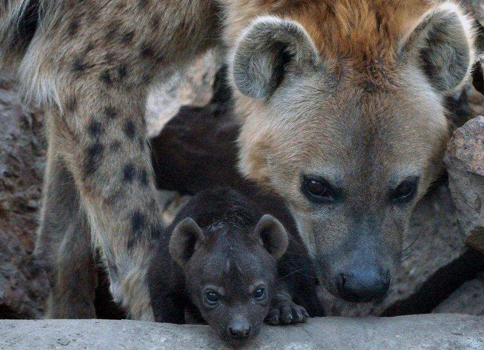 A newly born spotted hyena (Crocuta crocuta) baby is seen with its mother at the Animal Garden in Szeged, Hungartat the Serbi