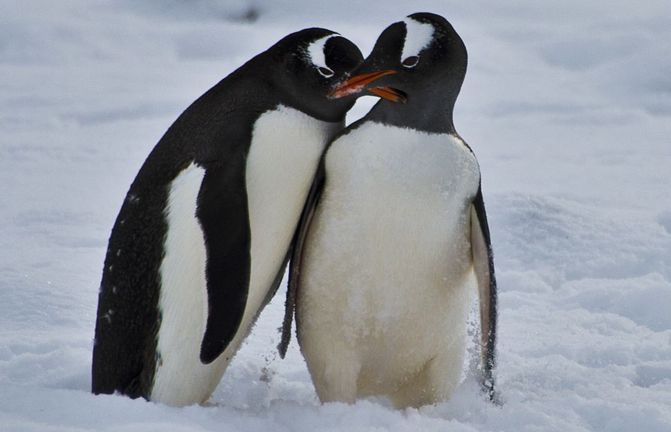 Penguins play before mating at Chile's military base Presidente Eduardo Frei, in the King George island, in Antarctica, on Ma
