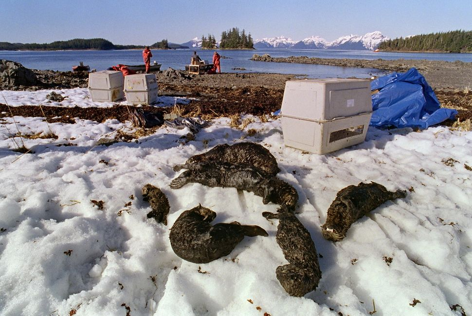 One baby and five adult oil-soaked sea otters lie dead on Green Island beach on April 3, 1989 in Prince William Sound.