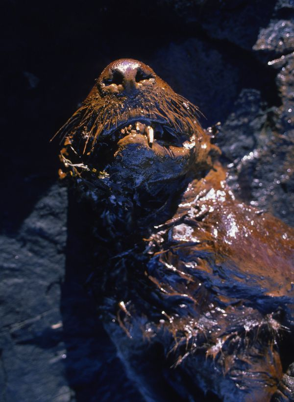 A dead sea otter coated with crude oil from the Exxon Valdez oil spill is found on the beach of Green Island in Prince Willia