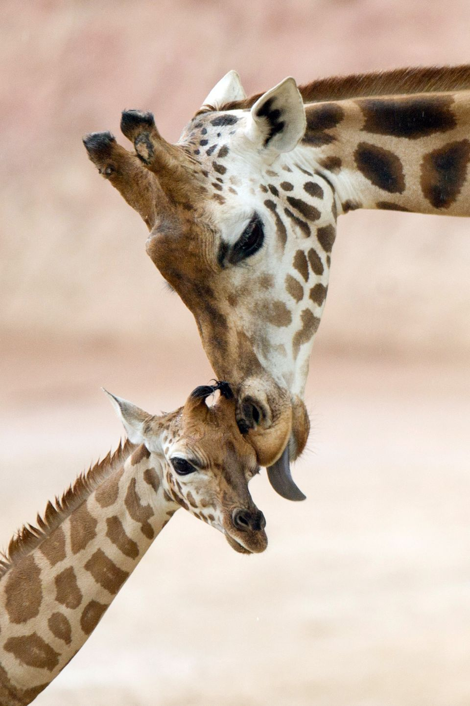 Giraffe baby Jamila canoodles with mother Juji at the outdoor enclosure of the Zoo in Hannover, Germany.