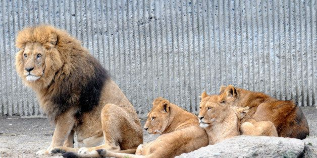COPENHAGEN, DENMARK - MARCH 26 : This file photo dated 09/02/2014 shows members of the lion family in a Danish zoo. Danish zo