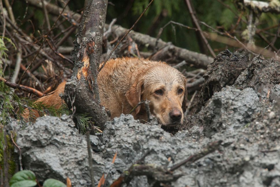 OSO, WA - MARCH 29:  A search and rescue dog works at the Oso mudslide site on March 29, 2014 in Oso, Washington.  A massive