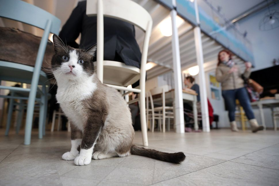 A cat sits in the Miagola Cafe in Turin, on March 22, 2014. The newly opened Miagola Cafe is a concept bar where cats and hum
