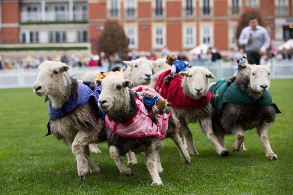 ASCOT, ENGLAND - MARCH 30:  Sheep race in the Lamb National at Ascot Country Fair Raceday at Ascot Racecourse on March 30, 20